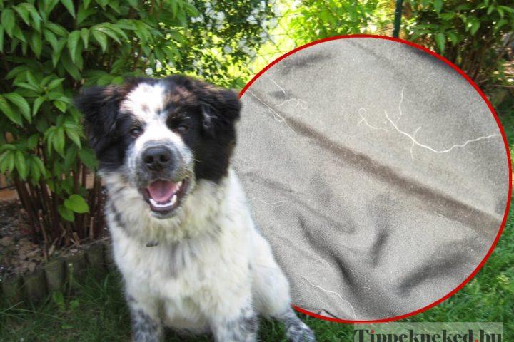 Kutyaszőr eltávolítása a lakásból