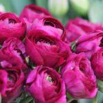 Pünkösdi rózsa (Bazsarózsa)